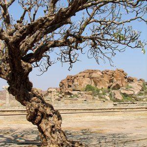 Designphotoart - Old-Indian-tree